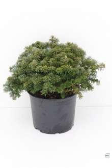 Image of   Koreagran Brillant - Abies koreana Brillant
