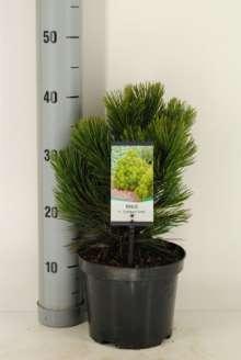 Hvidbarket Fyr - Pinus helderichii Compack Gem