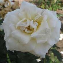 Image of   Storblomstrende rose Marvellous - Rosa X Marvellous