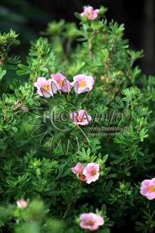 Image of   Buskpotentil Pink Paradise - Potentilla fruticosa Pink...