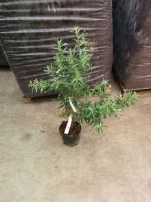 Havtorn Hun-klon - Hippophae rhamnoides Hun-klon