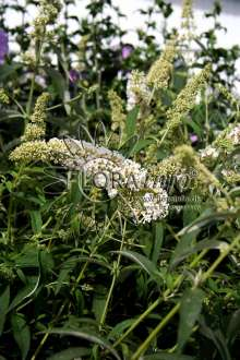 Sommerfuglebusk White Profusion - Buddleia davidii White...
