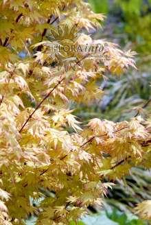 Japansk Ahorn Orange Dream - Acer palmatum Orange Dream