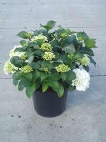 Billede af Hydrangea macrophylla Snowball - Hydrangea macrophylla...