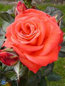 Image of   Storblomstrende Rose Dronning Ingrid - Rosa x Dronning Ingrid
