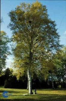Dunbirk - Betula pubescens