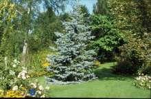 Ægte-Blågran - Picea pungens Hoopsii