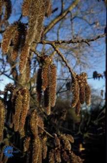 Bævreasp - Populus tremulda