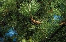 Image of   Almindelig Klitfyr - Pinus contorta