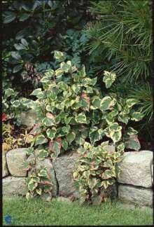 Kamæleonblad - Hottuynia cordata Chameleon