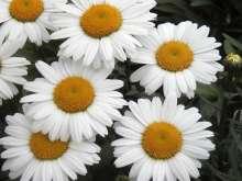 Kæmpemargerit - Leucanthemum superbum Sølvprinsessen