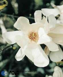 Magnolia x loebneri Merrill - Magnolia x loebneri Merrill