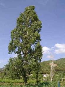 Pyramidepoppel - Populus nigra Italica