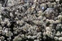 Slåen - Prunus spinosa
