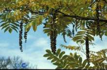 Kaukasisk Vingevalnød - Pterocarya fraxinifolia