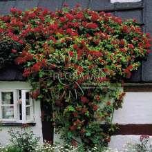 Billede af Slyngrose Flammentanz - Rosa x Flammentanz