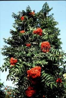 Søjlerøn - Sorbus x thuringiaca Fastigiata