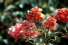Image of   Storblomstrende Rose Dekorat Freude - Rosa x Dekorat Freude
