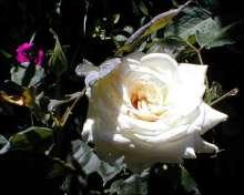 Image of   Storblomstrende Rose Pascali - Rosa x Pascali