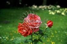 Image of   Storblomstrende Rose Super Star ® - Rosa x Super Star ®