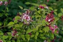 Dværg Syren Superba - Syringa microphylla Superba