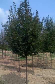 Småbladet Lind Rancho - Tilia cordata Rancho