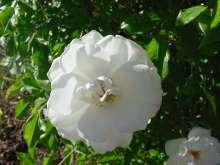 Gammeldags rose Ilse Krohn Superior - Rosa kordesii Ilse...