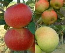 Image of   Familietræ Æble med 3 sorter - Familietræ Æble med 3 sorter