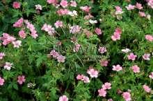 Storkenæb Claridge Druche - Geranium oxonianum Claridge...