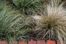 Japansk Star Bronze Form - Carex comans Bronze Form