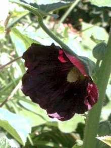 Stokrose Nigra - Alcea rosea Nigra