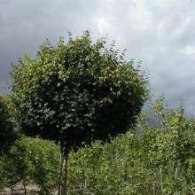Hus og Have > Have > Alletræer > Naur > Kugle-Naur priser, Kugle-Naur – Acer campestre Nanum