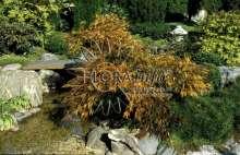 Japansk Dværgahorn - Acer palmatum dissectum