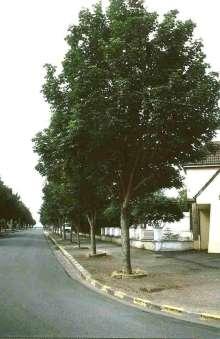 Image of   Ahorn - Ær Rotterdam - Acer pseudoplatanus Rotterdam