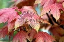 Image of   Ahorn Brilliantissimum - Acer pseudoplatanus Brilliantissimum