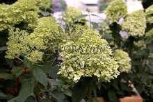 Havehortensia Limelight - Hydrangea paniculata Limelight