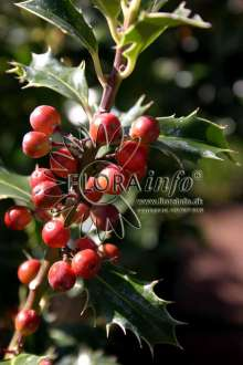 Image of   Almindelig kristtorn Alaska - Ilex aquifolium Alaska