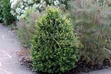 Image of   Almindelig Buksbom - Buxus sempervirens (arborescens)