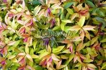 Billede af Spiræa Goldflame - Spiraea japonica Goldflame