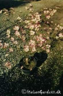 Blomster Kornel - Cornus florida Rubra