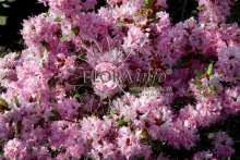 Anna Baldsiefen - R. racemosum hybrid Anna Baldsiefen