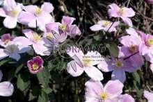 Image of   Bjerg-Skovranke Pink Perfection - Clematis montana Pink...
