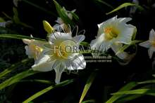 Image of   Daglilje Joan Senior - Hemerocallis Joan Senior