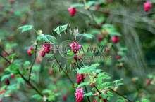 Blodribs King Edward VII - Ribes sanguineum King Edward VII