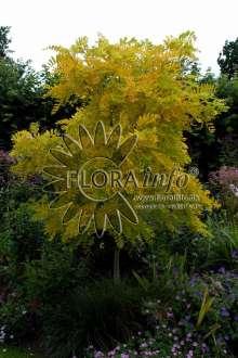 Image of   Almindelig robinie Frisia - Robinia pseudoacacia Frisia