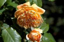 Image of   Austin Crown Princess Margareta - Rosa x Crown Princess...
