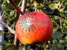 Æble Rubinola - Malus x Rubinola