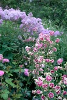 Image of   Akeleje Nora Barlow - Aquilegia vulgaris Nora Barlow