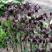Image of   Akeleje William Guiness - Aquilegia vulgaris William Guiness