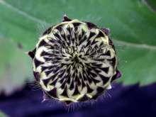 Billede af Skælhoved - Cephalaria gigantea (tatarica)